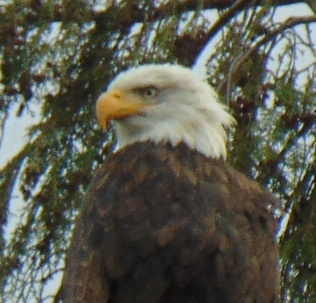 eagle head shot