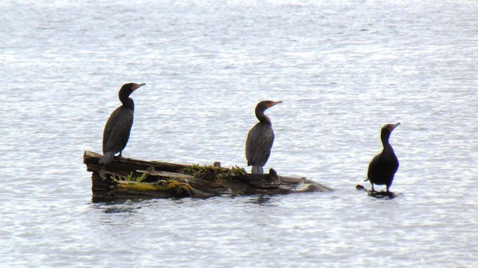 birds of a feather, Lake Washington